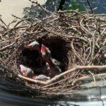 27.05.20 | Die Vogelkinder werden größer.
