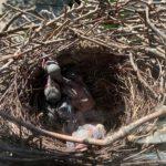 28.05.20 | Die Vogelkinder bekommen Federn.